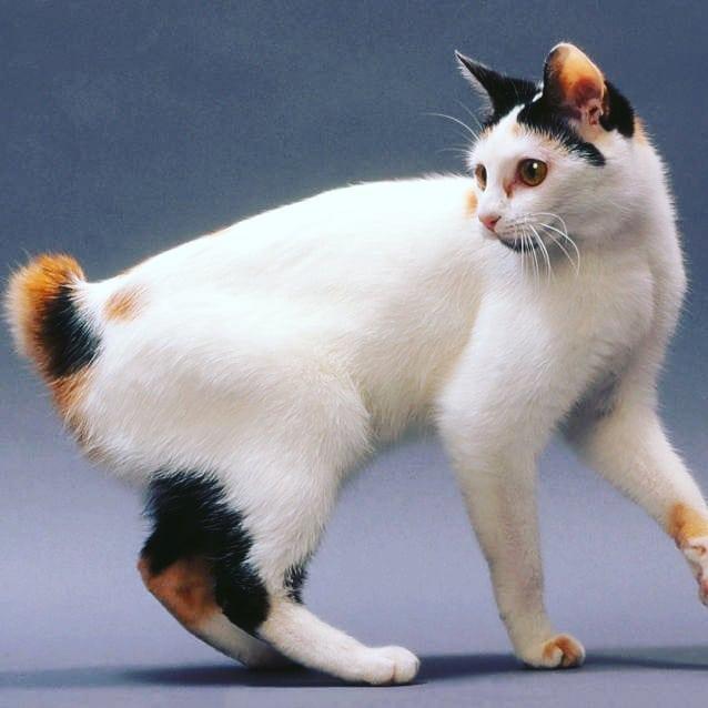 Kucing Japanese Bobtail