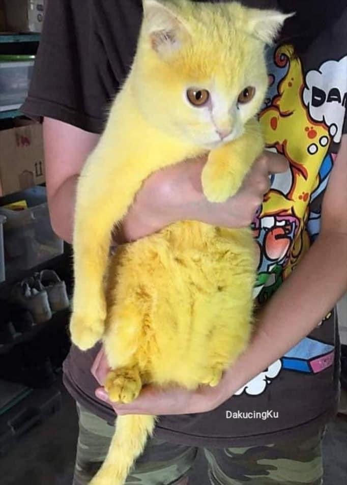 Viral Niat Obati Kucing Dengan Kunyit Malah Jadi Kuning Seperti Pikachu Kucing Lucu Net