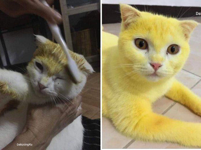 Niat obati kucing dengan kunyit, malah jadi kuning seperti pikachu